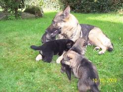 Vanessa, chien Berger allemand