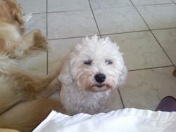 Titeuf, chien Bichon maltais