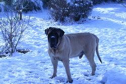 Uhlane, chien Mastiff