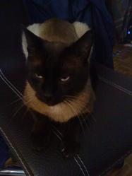Tsubasa, chat Siamois