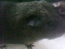 Pilou, rongeur Cochon d'Inde