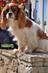 Elvira Morena, chien Cavalier King Charles Spaniel