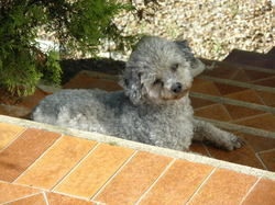 Milou , chien