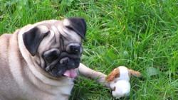 Apollon, chien Carlin