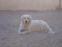 Rusty, chien Golden Retriever