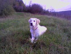 Anouk, chien Golden Retriever