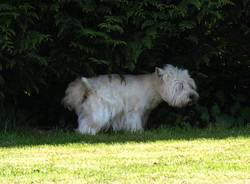 Cacao, chien West Highland White Terrier
