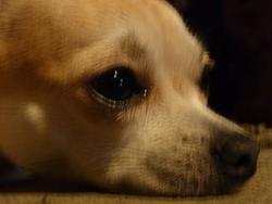 Bubble, chien Chihuahua