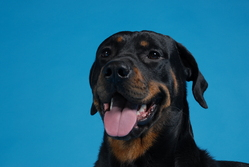 Cacao, chien Rottweiler