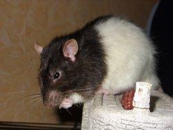 Bounty, rongeur Rat