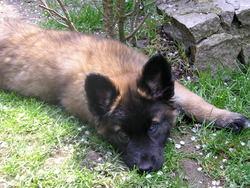 Fox, chien Berger belge