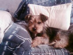 Leo, chien Yorkshire Terrier