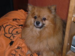 Scooby-Doo, chien Spitz allemand