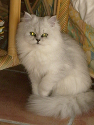 Celeste, chat Chinchilla