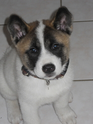 Kira, chien Akita Inu
