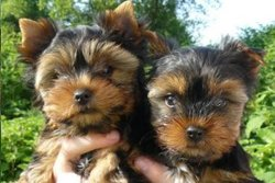 Roxy, chien Yorkshire Terrier