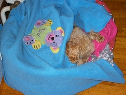 Dollie, chien Caniche