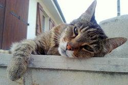 Tigron Décédé Le 21 Octobre 2013, chat Gouttière