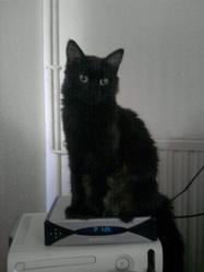 Peluche, chat Persan