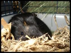 Bob , rongeur Cochon d'Inde