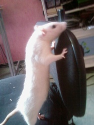 Hooly, rongeur Rat