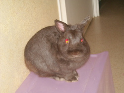 Gipsy, rongeur Lapin