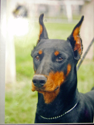 Raya, chien Dobermann