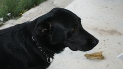 Canelle, chien Labrador Retriever
