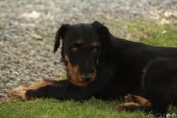 Durka , chien Jagdterrier