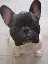 Arès, chien Bouledogue français