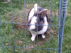 Boby, rongeur Lapin