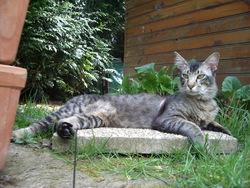 Aslan, chat Oriental