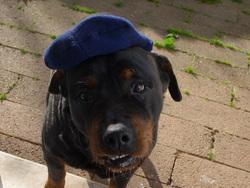 Gina, chien Rottweiler