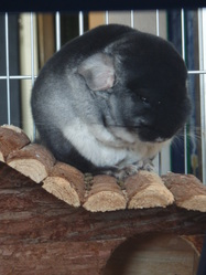 Kirby, rongeur Chinchilla