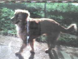 Occeanne, chien Golden Retriever