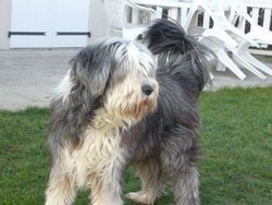 Virgile, chien Bearded Collie