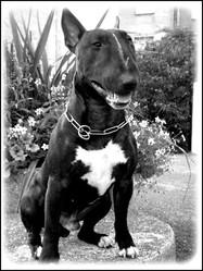 Doug, chien Bull Terrier