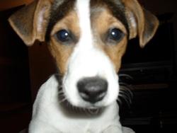 Elektra, chien Jack Russell Terrier