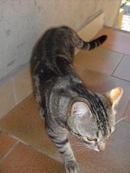Mimosa, chat Gouttière