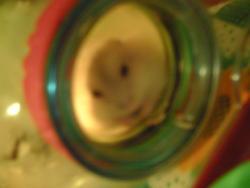 Bihanca, rongeur Hamster