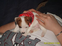 Falco, chien Jack Russell Terrier