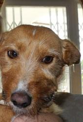 Lola, chien Podenco ibicenco