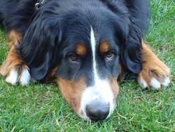 Cenka, chien Bouvier bernois