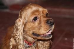 Sam , chien Cocker américain