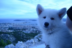Ghost, chien Berger blanc suisse