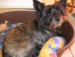 Zoe, chien Cairn Terrier