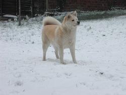 Chana, chien Akita Inu