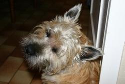 Cooky, chien Cairn Terrier