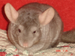 Biscuit, rongeur Chinchilla