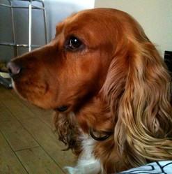 Cooky, chien Cocker anglais